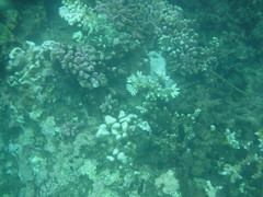 Coral (Rckr88) Tags: pointeauxbiches mauritius pointe aux biches sea water ocean coastline coastal coast coralreef corals reefs reef snorkelling snorkel fish nature naturalworld outdoors travel travelling