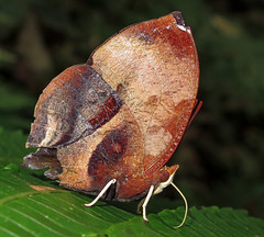 Siderone galanthis (hippobosca) Tags: insect lepidoptera butterfly nymphalidae sideronegalanthis ecuador macro