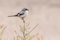 Great grey shrike (katyarud) Tags: arabah bird greatgreyshrike israel laniusexcubitor арава серыйсорокопут птица птицы הערבה חנקןגדול ישראל ציפור