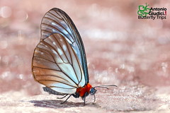The Orange Freak - ผีเสื้อพุทธสีส้ม (Antonio Giudici Butterfly Trips) Tags: nymphalidae calinaginae calinagasudassanasudassana theorangefreak ผีเสื้อพุทธสีส้ม thailand nan yot