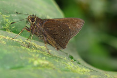 Psoralis degener (Over 6 million views!) Tags: butterfly ecuador hesperiidae psoralisdegener insect butterflies