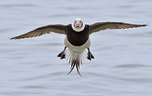 Long-tailed Duck - Irondequoit Bay Outlet - © Angie Armstrong - Jan 31, 2020