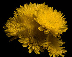 Yellow Mums 1019 (Tjerger) Tags: nature flowers bloom blooms blooming plant natural flora floral blackbackground portrait beautiful beauty black fall wisconsin macro closeup yellow group bunch mums flowr mum