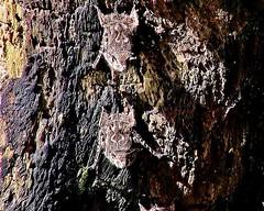 MEXICO, Las Guacamayas, direkt am Rio Lacantún, Flora und Fauna mitten im Dschungel, Miniatur-Fledermäuse, kaum größer als Schmetterlinge , 19531/12377 (roba66) Tags: urlaub reisen travel explore voyages rundreise visit tourism roba66 mexiko mexico mécico méjico nordamerika northamerica zentralamerika yukatanhalbinsel 2017 chiapas tier tiere animal animals creature fauna fledermäuse vampir wildlife nature natur naturalezza dschungel minifledermäuse bats wild