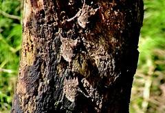 MEXICO, Las Guacamayas, direkt am Rio Lacantún, Flora und Fauna mitten im Dschungel, Miniatur-Fledermäuse, kaum größer als Schmetterlinge , 19529/12375 (roba66) Tags: urlaub reisen travel explore voyages rundreise visit tourism roba66 mexiko mexico mécico méjico nordamerika northamerica zentralamerika yukatanhalbinsel 2017 chiapas tier tiere animal animals creature fauna fledermäuse vampir wildlife nature natur naturalezza dschungel bats wild
