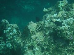 Fish (Rckr88) Tags: pointeauxbiches mauritius pointe aux biches sea water ocean coastline coast coastal coral coralreef corals reefs reef snorkel snorkelling marinelife marine fish underwater nature naturalworld