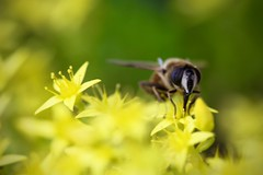 Macro (Michel photography / Thanks for 25 Millions) Tags: bee abeille macro yellow