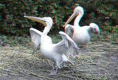 Pelicans Blijdorp Zoo Rotterdam 3D (wim hoppenbrouwers) Tags: pelicans blijdorp zoo rotterdam 3d anaglyph stereo redcyan