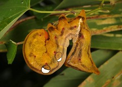 Fruit Piercing Moth Caterpillar (Eudocima phalonia, Calpinae, Erebidae) (John Horstman (itchydogimages, SINOBUG)) Tags: insect macro china yunnan itchydogimages sinobug entomology canon moth lepidoptera caterpillar larva calpinae erebidae eyespots