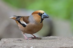 Hawfinch (Coccothraustes coccothraustes) (KHR Images) Tags: hawfinch coccothraustescoccothraustes wild bird finch forestofdean gloucestershire wildlife nature woodland nikon d500 kevinrobson khrimages