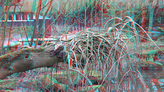 Blijdorp Zoo Rotterdam 3D anaglyph (wim hoppenbrouwers) Tags: anaglyph stereo redcyan blijdorp zoo rotterdam 3d