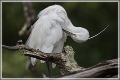 Aigrette garzette (Egretta garzetta) (Laurent Cornu) Tags: france birds dordogne aves aquitaine oiseau oiseaux littleegret egrettagarzetta aigrettegarzette pélécaniformes ardéidés