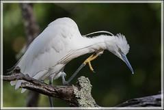 Aigrette garzette (Egretta garzetta) (Laurent Cornu) Tags: aves aquitaine france birds dordogne oiseaux oiseau littleegret egrettagarzetta aigrettegarzette ardéidés pélécaniformes