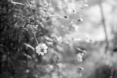 20191116 CanonA-1 FD50_14 agfaAPX100 Rodinal 1+50 1h standdev 023 (motoshi ohmori) Tags: 2019 1116 canon a1 fd 50mm f14 agfa apx 100 rodinal 150 1h standdev light flower bee