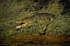MEXICO, Las Guacamayas, direkt am Rio Lacantún, Flora und Fauna mitten im Dschungel, Krokodile, 19528/12374 (roba66) Tags: urlaub reisen travel explore voyages rundreise visit tourism roba66 mexiko mexico mécico méjico nordamerika northamerica zentralamerika yukatanhalbinsel 2017 chiapas tier tiere animal animals creature fauna krokodil reptil wild wildlife nature natur naturalezza dschungel crocodile