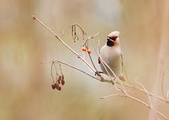 Bohemian Waxwing, Bombycilla garrulus - Pestvogels (Bombycillidae)