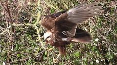 MH video grab 13.2.20 (ericy202) Tags: marsh harrier video grab mp4 quality taking off bush