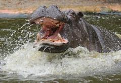 Hippopotamus Antwerpen BB2A0152 (j.a.kok) Tags: animal africa afrika antwerpen hippo hippopotamus hippopothamus mammal zoogdier dier