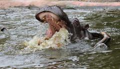 Hippopotamus Antwerpen BB2A0142 (j.a.kok) Tags: animal africa afrika antwerpen hippo hippopotamus hippopothamus mammal zoogdier dier