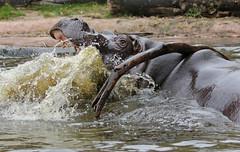 Hippopotamus Antwerpen BB2A0135 (j.a.kok) Tags: animal africa afrika antwerpen hippo hippopotamus hippopothamus mammal zoogdier dier