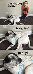 Really, bro? (gagbee18) Tags: animals aww bro dogmemes dogs funny memes