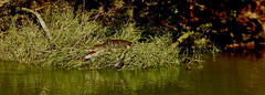 MEXICO, Las Guacamayas, direkt am Rio Lacantún, Flora und Fauna mitten im Dschungel, Krokodile, 19527/12373 (roba66) Tags: urlaub reisen travel explore voyages rundreise visit tourism roba66 mexiko mexico mécico méjico nordamerika northamerica zentralamerika yukatanhalbinsel 2017 chiapas tier tiere animal animals creature fauna krokodil reptil wild wildlife nature natur naturalezza dschungel crocodile