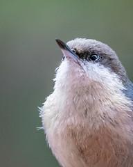 Pygmy Nuthatch (Bob Gunderson) Tags: birds california chickadeesnuthatchestitmice missiondistrict northerncalifornia nuthatches pygmynuthatch sanfrancisco sittapygmaea