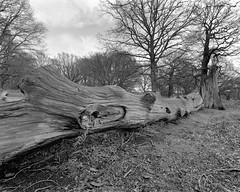 A Fallen Tree (MKHardyPhotography) Tags: mkhardy london large format 58mm park tree blackandwhite monochrome street 4x5 ilford delta 100 film photo home developed filmisnotdead schneider bw self superangulon xl iso100 negative super angulon 4x5film