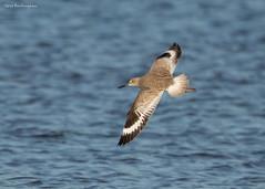 Willet (sbuckinghamnj) Tags: bird california shorebird mosslanding willet monterey