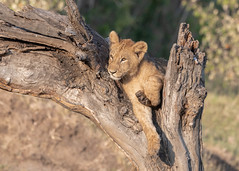 Lion cubs (2 of 5) (tickspics) Tags: africa africanlion maranorth kenya feliformia felidae iucnredlistvulnerable lion mnc maranorthconservancy pantheraleo pantherinae