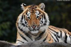 Bengal tiger - Pakawipark (Mandenno photography) Tags: animal animals dierenpark dierentuin dieren zoo bigcat big cat cats belgie ngc nature natgeo natgeographic belgium bbcearth olmense olmensezoo olmen tiger tigers tijgers pakawi pakawipark park paka