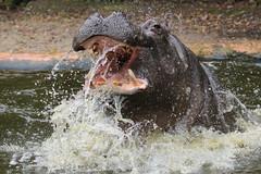 Hippopotamus Antwerpen BB2A0151 (j.a.kok) Tags: animal africa afrika antwerpen hippo hippopotamus hippopothamus mammal zoogdier dier