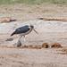 Marabu / Marabou Stork