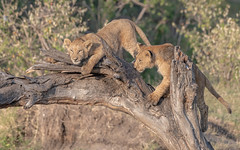 Lion cubs (1 of 5) (tickspics) Tags: africa africanlion maranorth kenya feliformia felidae iucnredlistvulnerable lion mnc maranorthconservancy pantheraleo pantherinae