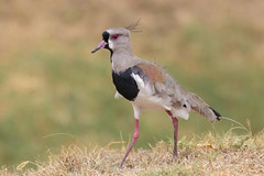 Vanellus chilensis (Gabriel Paladino Photography) Tags: salinas canelones uruguay fauna animal nature natural naturaleza wildlife canon 77d 9000d sigma 150600 contemporary vanellus chilensis tero southern lapwing pájaro teru charadriidae ave bird ainmhithe állati anifeiliaid animale annimali anụmanụ wader chordata charadriiformes favme fave exploreme aves animalia queroquero gabriel paladino ibañez