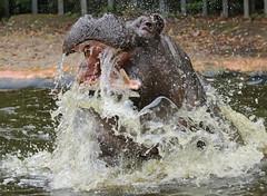 Hippopotamus Antwerpen BB2A0150 (j.a.kok) Tags: animal africa afrika antwerpen hippo hippopotamus hippopothamus mammal zoogdier dier