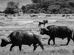 POWERHOUSES ON THE MOVE. (eliewolfphotography) Tags: buffalo bnw capebuffalo animals africa wildlife nature landscapes landscape tanzania
