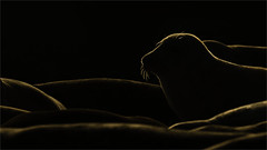 Golden, Grey Seals. (Tony Smith Photo's) Tags: beach black coast golden head marine nature sand sea seaside uk water wild wildlife animal animals aquatic asleep background beautiful coastline colony conservation cute fluffy fluffyseal fur gold greyseal grypus halichoerus horseybeach horseygapseals horseysealcolony horseyseals lie life mammal marinelife marinemammal morning norfolk norfolkdayout norfolkseals norfolkwildlife northnorfolk northnorfolkcoast outdoor rimlighting rimlit seal sealnose seals sleeping ukwildlife whiskers wildlifedayout sunrise early