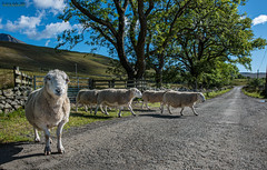 Do you mind waiting please {Explore 14/2/2020} (jerry_lake) Tags: d750 lightroomcc nikon1424mmf28 scotlandtrip sept2015 sheep sheepcrossing