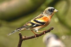 Brambling (noelbarke) Tags: brambling bird hawk owl trust norfolk fringilla montifringella