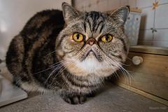 Io e la mia signorina Miu - Me and my Miss Miu (Eugenio GV Costa) Tags: approvato gatto cat gatti cats animal animali domestici miu gattina exoticshorthair
