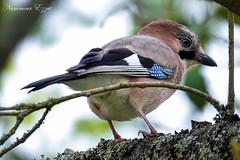 Geai des chênes   Garrulus glandarius (Ezzo33) Tags: france gironde nouvelleaquitaine bordeaux ezzo33 nammour ezzat sony rx10m3 parc jardin oiseau oiseaux bird birds réserve geaideschênes garrulusglandarius