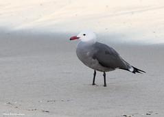 Heerman's Gull (sbuckinghamnj) Tags: bird california shorebird gull heermansgull monterey