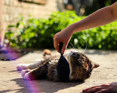 Mincendorf loves it (JaaniicB) Tags: canon eos 77d 50mm stm nifty fifty cat animal domestic purr summer goodweather