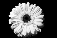 Freitagsblümchen (Pascal Volk) Tags: freitagsblümchen fridayflora blume flower flor blüte blossom bloom floral flowerpower gerbera gerberahybride artinbw schwarz weis black white blackandwhite schwarzweis sw bw bnw blancoynegro blanconegro wideangle weitwinkel granangular wa ww canonrf35mmf18ismacrostm 35mm blackbackground schwarzerhintergrund fondonegro manfrotto mt294a3 804rc2 dxophotolab dxosilverefexpro nikcollection ilfordpan100