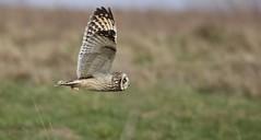 Shortie (Alan McCluskie) Tags: shortearedowl owls owl owlinflight shortearedowlinflight birdofprey birdinflight canon7dmk2 sigma150600mmsp