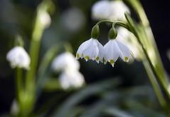Photo of Snowdrops