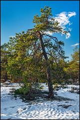 Tall (Jonas Thomén) Tags: tall pine snow snö sky himmel moln cloud träd tree berg mountain degernäs winter vinter sunshine solsken skog forest woods