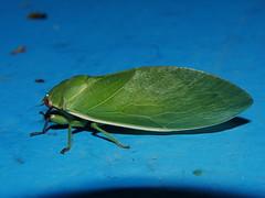 A CICADA READY FOR A Valentines day night SING ALONG P1210144 (Steve & Alison1) Tags: lesser green bladder cicada cystosoma schmeltzii cicadidae mandalay rainforest airlie beach