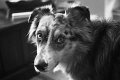You Bellowed? (flashfix) Tags: february112020 2020inphotos flashfix flashfixphotography ottawa ontario canada nikond7100 40mm sock dog canine animal pet austrailanshepherd triaustrailanshepherd bluemerle tricolour heterochromia monochrome blackandwhite